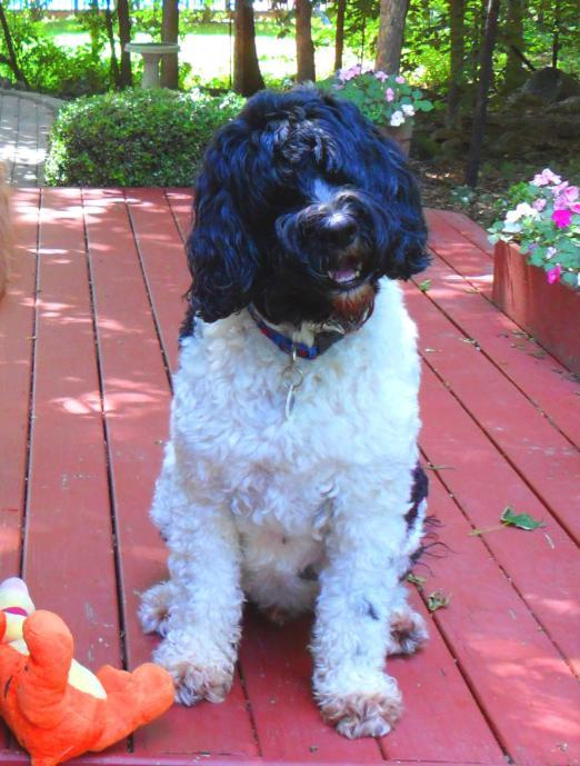 photo of Brady, the Portuguese water dog.